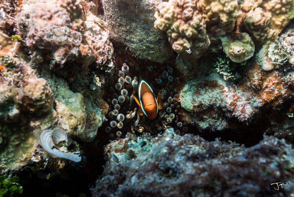 Peaking Clownfish