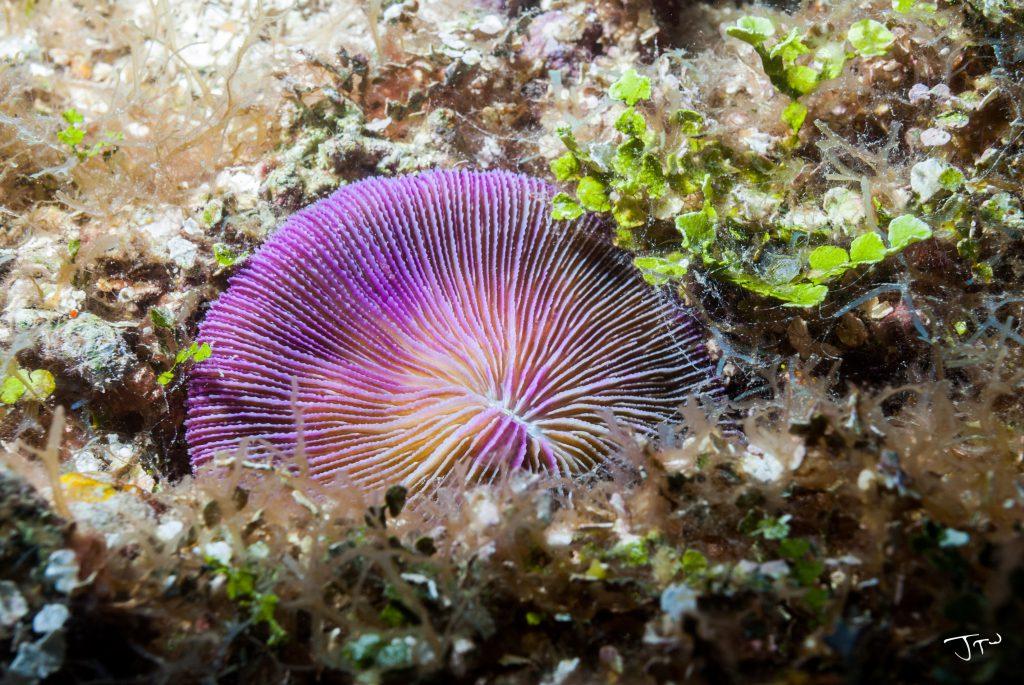 Razor Coral